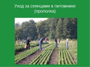 Уход за сеянцами в питомнике (прополка)