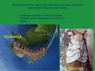 Вредители леса на территории Чановского района. Непарный шелкопряд(сибирский