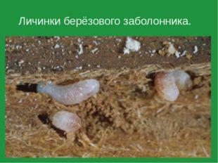 Личинки берёзового заболонника.