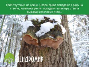 Гриб-трутовик на осине. Споры гриба попадают в рану на стволе, начинают расти