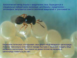 Насекомое теленомус откладывает свои яйца в яйца непарного шелкопряда. Личин