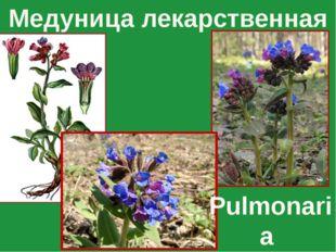 Медуница лекарственная Pulmonaria officinalis