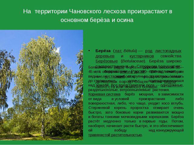 На территории Чановского лесхоза произрастают в основном берёза и осина Берёз...