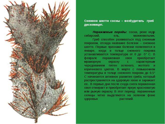 Снежное шютте сосны – возбудитель гриб дискомицет.  Поражаемые породы: сосна...
