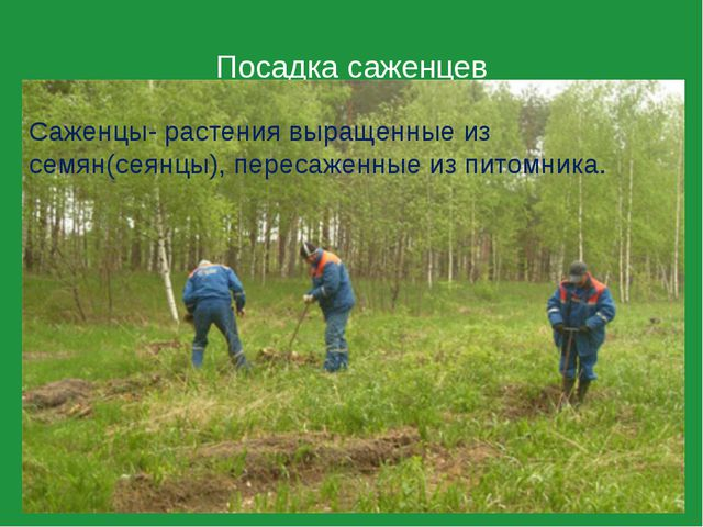 Посадка саженцев Саженцы- растения выращенные из семян(сеянцы), пересаженные...