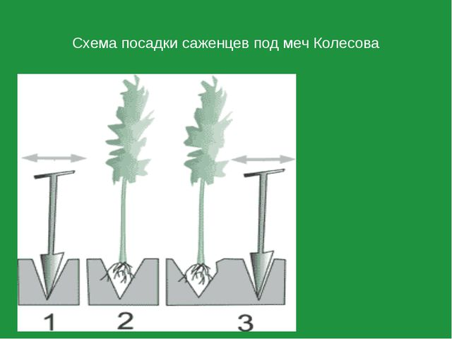 Схема посадки саженцев под меч Колесова