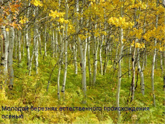 Молодой березняк естественного происхождения осенью