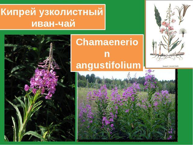 Кипрей узколистный иван-чай Chamaenerion angustifolium