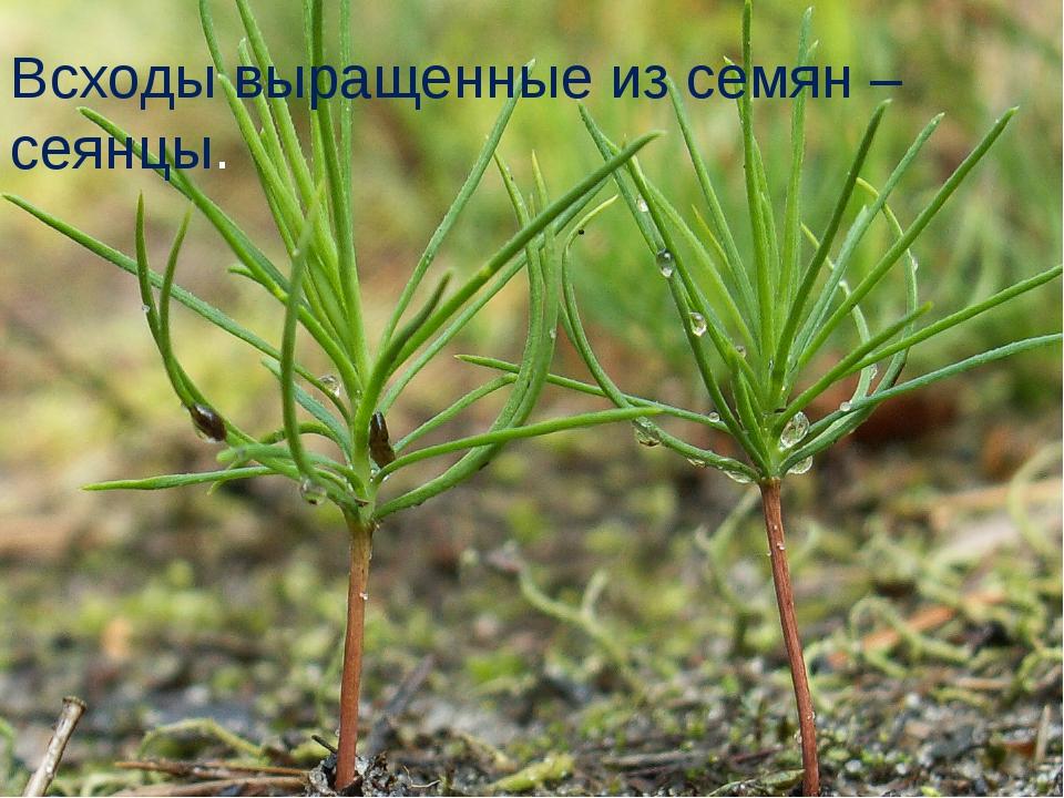 Всходы выращенные из семян – сеянцы.