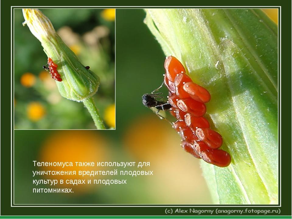 Теленомуса также используют для уничтожения вредителей плодовых культур в са...