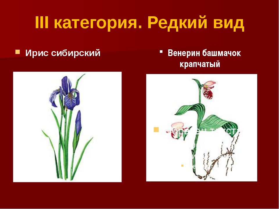 III категория. Редкий вид Ирис сибирский Венерин башмачок крапчатый