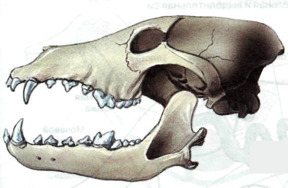 http://900igr.net/datai/biologija/Klass-mlekopitajuschie-urok/0023-025-CHerep-volka.jpg