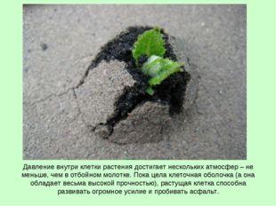 Давление внутри клетки растения достигает нескольких атмосфер – не меньше, че