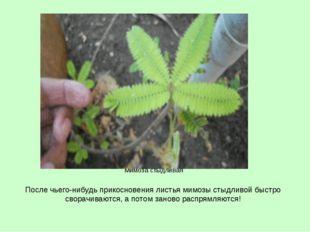 После чьего-нибудь прикосновения листья мимозы стыдливой быстро сворачиваются