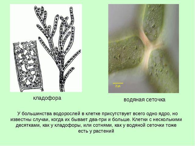 У большинства водорослей в клетке присутствует всего одно ядро, но известны...