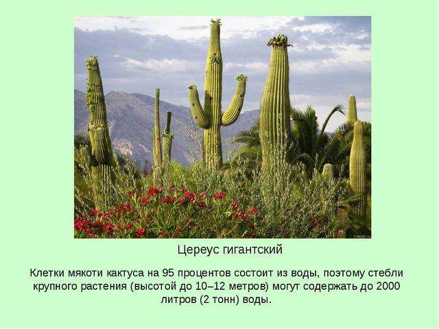 Клетки мякоти кактуса на 95 процентов состоит из воды, поэтому стебли крупног...