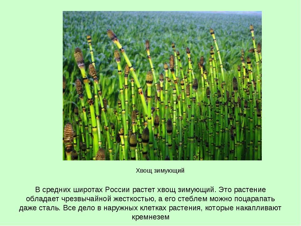 В средних широтах России растет хвощ зимующий. Это растение обладает чрезвыча...