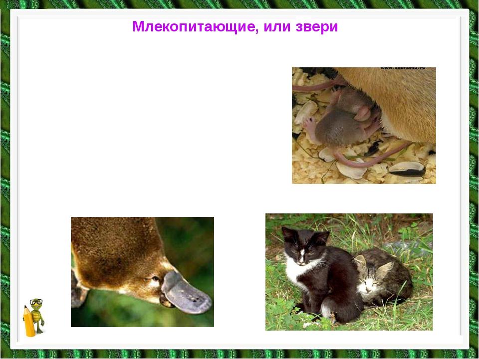 Млекопитающие, или звери Тело покрыто шерстью, кормят детёнышей молоком