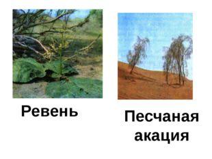 Ревень Песчаная акация