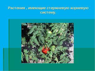 Растения , имеющие стержневую корневую систему.