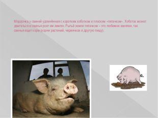 Мордочка у свиней удлинённая с коротким хоботком и плоским «пятачком». Хобот