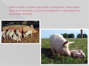 Свинья живёт со своими поросятами в свинарнике. Мама кормит своих деток молок