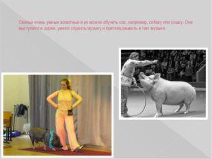 Свиньи очень умные животные и их можно обучить как, например, собаку или кошк