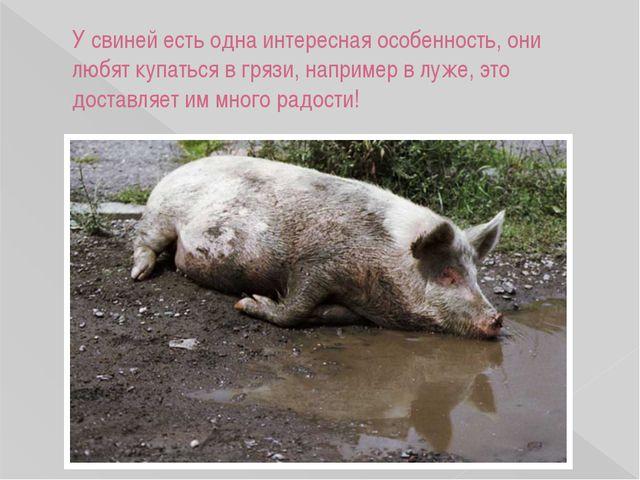 У свиней есть одна интересная особенность, они любят купаться в грязи, наприм...
