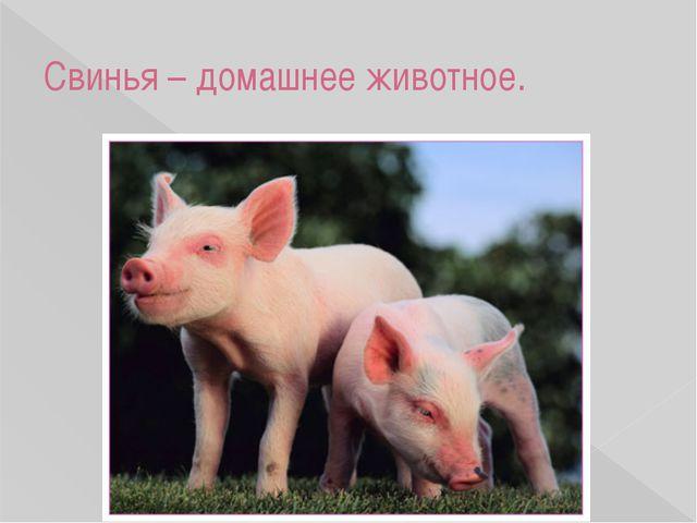 Свинья – домашнее животное.