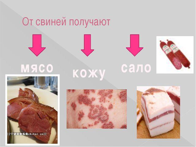 От свиней получают мясо сало кожу