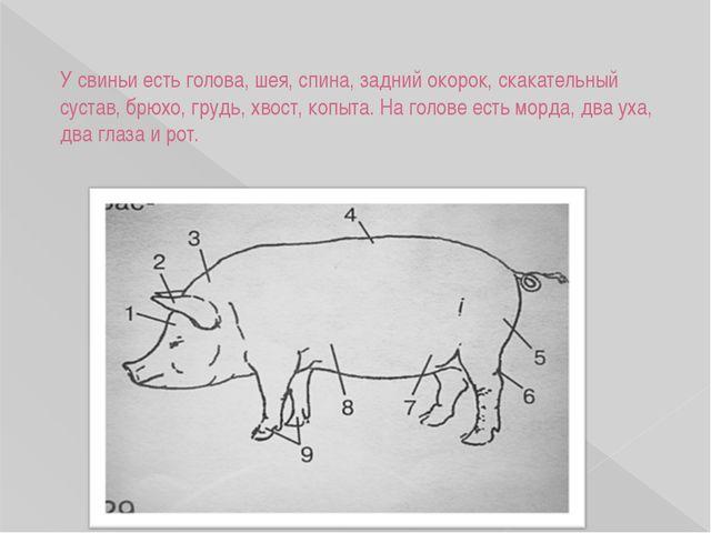 У свиньи есть голова, шея, спина, задний окорок, скакательный сустав, брюхо,...
