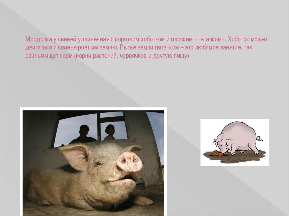 Мордочка у свиней удлинённая с коротким хоботком и плоским «пятачком». Хобот...