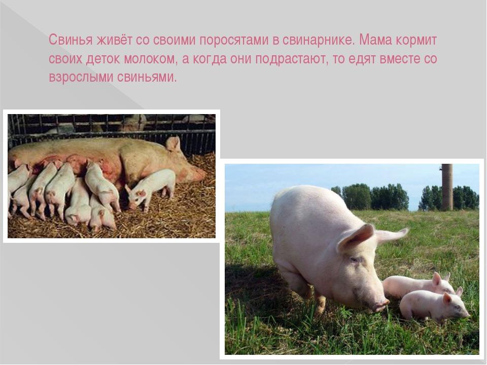 Свинья живёт со своими поросятами в свинарнике. Мама кормит своих деток молок...