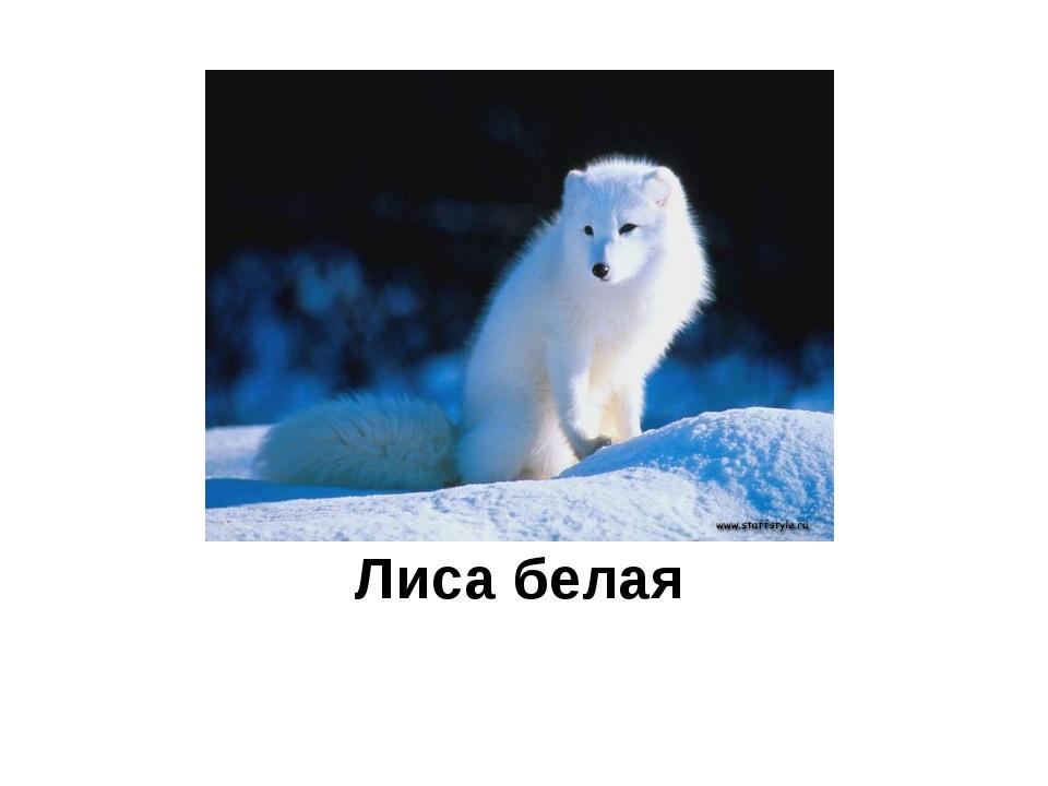 Лиса белая