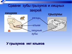 Сравни зубы грызунов и хищных зверей резцы клыки хищные зубы У грызунов нет к