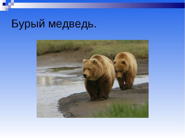 Бурый медведь.