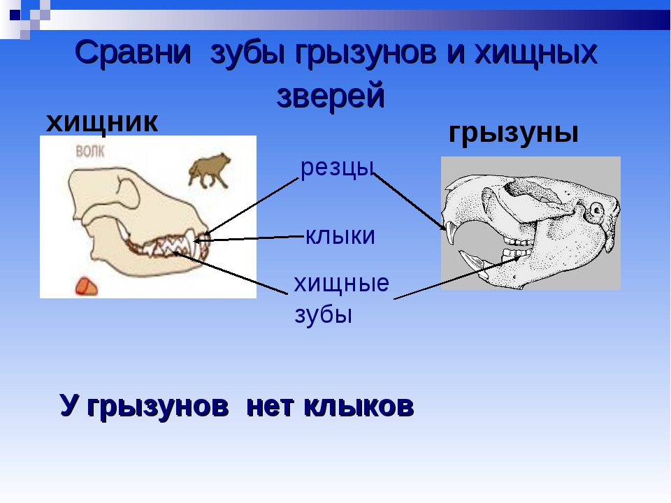 Сравни зубы грызунов и хищных зверей резцы клыки хищные зубы У грызунов нет к...