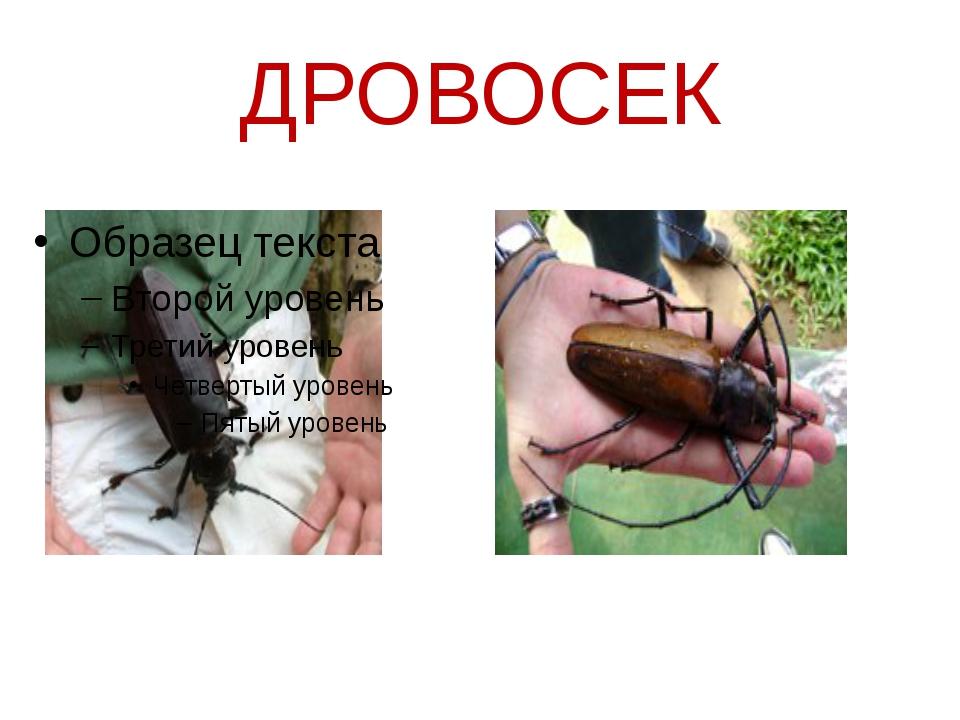 ДРОВОСЕК