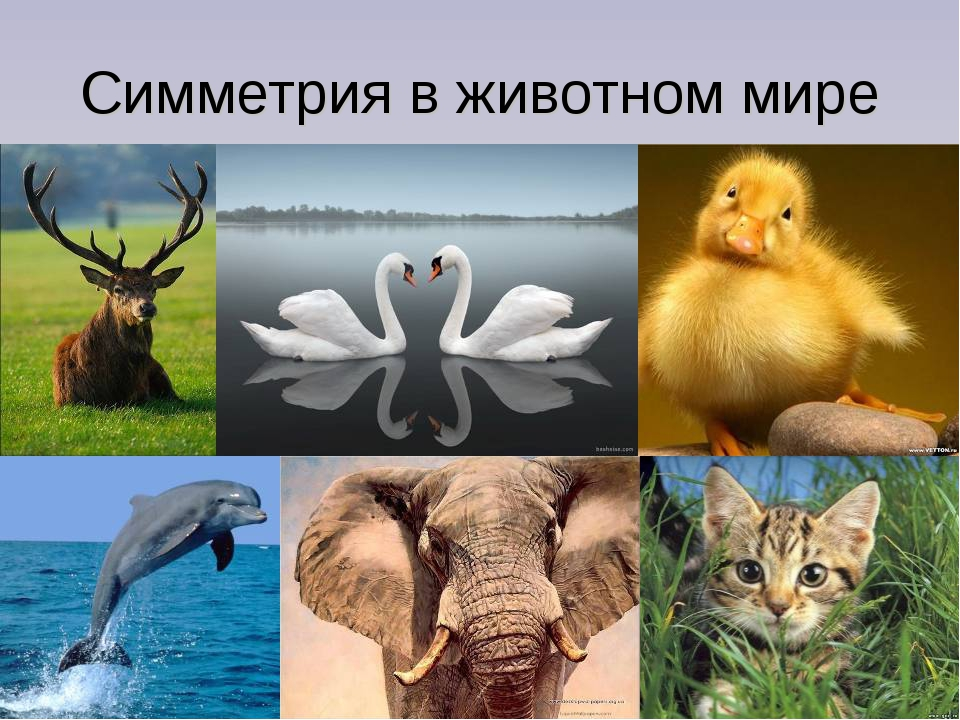 Симметрия в животном мире