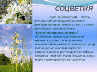 СОЦВЕТИЯ Соцве́тие (лат.inflorescentia)— часть системы побегов покрытосемен