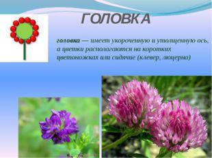 ГОЛОВКА головка — имеет укороченную и утолщенную ось, а цветки располагаются