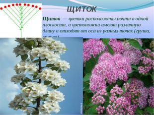 ЩИТОК Щиток — цветки расположены почти в одной плоскости, а цветоножки имеют