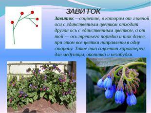 ЗАВИТОК Завиток—соцветие, в котором от главной оси с единственным цветком о