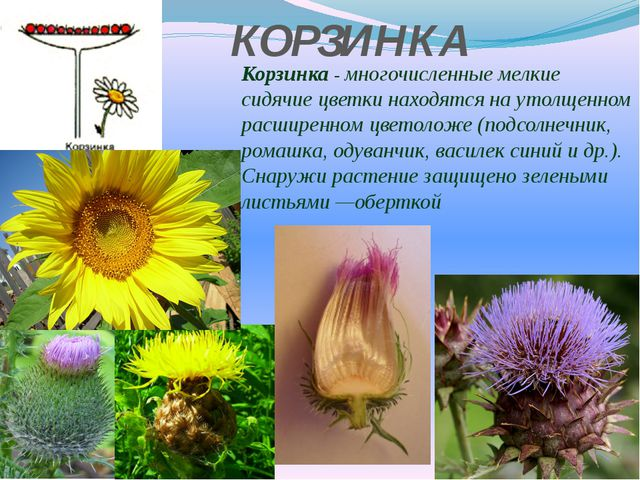 КОРЗИНКА Корзинка - многочисленные мелкие сидячие цветки находятся на утолщен...