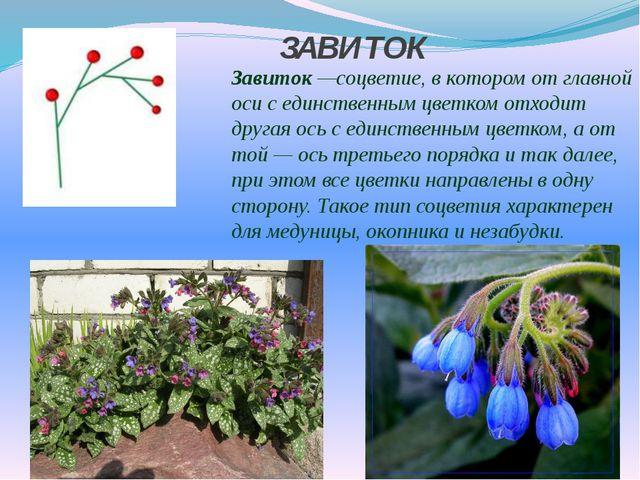 ЗАВИТОК Завиток—соцветие, в котором от главной оси с единственным цветком о...