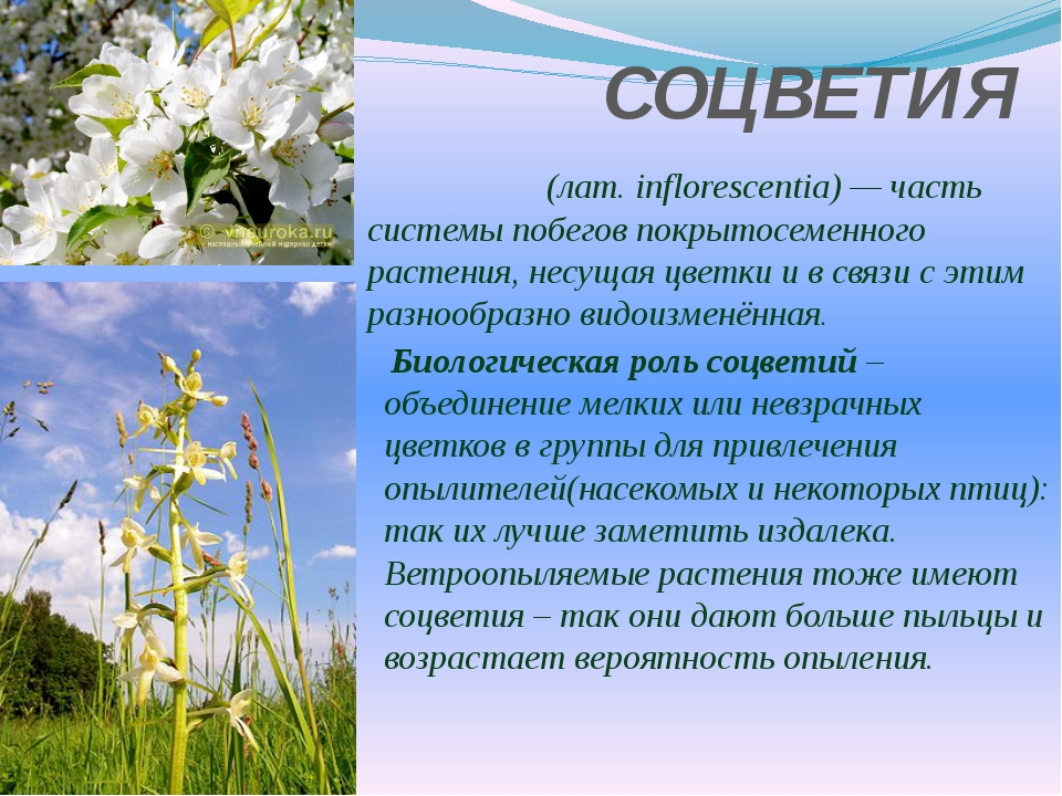 СОЦВЕТИЯ Соцве́тие (лат.inflorescentia)— часть системы побегов покрытосемен...