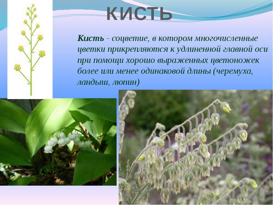 Кисть - соцветие, в котором многочисленные цветки прикрепляются к удлиненной...
