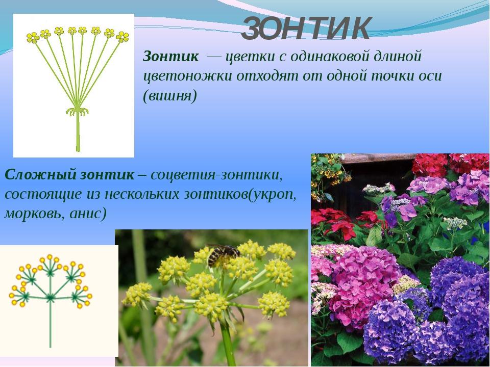 ЗОНТИК Зонтик — цветки с одинаковой длиной цветоножки отходят от одной точки...
