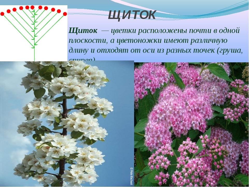 ЩИТОК Щиток — цветки расположены почти в одной плоскости, а цветоножки имеют...