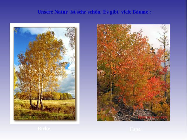 Unsere Natur ist sehr schön. Es gibt viele Bäume : Birke Espe